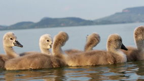 Swan family stock footage
