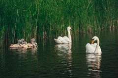 Free Swan Family On The Lake. Royalty Free Stock Images - 152229119