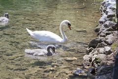 Swan family Stock Photos