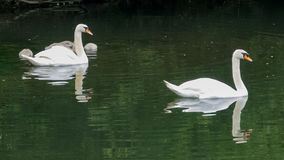 Swan Family. A pair of swans watches over their cygnets as they feed Stock Photos