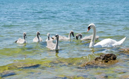 Swan family Stock Photography