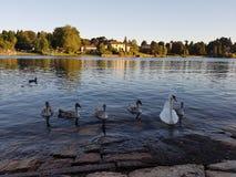 A Swan family at Porto Ceresio stock image