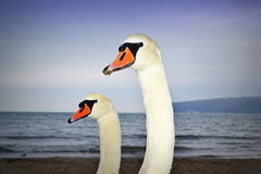 Swan family portrait. Two swans with long neck portrait on evening beach looking interested at the camera, Varna Black Sea coast, Bulgaria stock photo