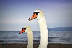 Swan family portrait stock photo