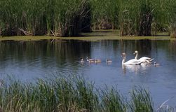 Swan family before reeds. Family of swans on the pond. Ukraine Royalty Free Stock Image