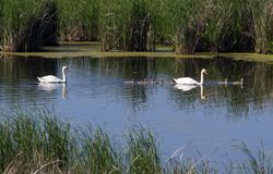 Swan family before reeds. Family of swans on the pond. Ukraine Stock Image