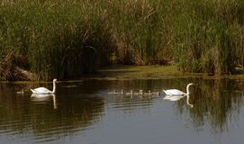 Swan family before reeds. Family of swans on the pond. Ukraine Stock Images