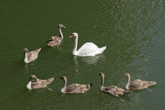 Swan family on river Royalty Free Stock Photos