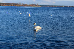Swan family in the river Daugava Stock Photography