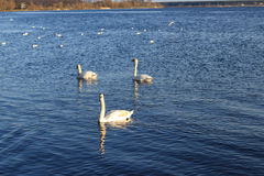 Swan family in the river Daugava Stock Images