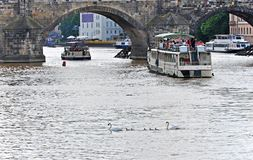 Swan family on Vltava between cruise ships under Charles Bridge. Prague, Czech Republic Royalty Free Stock Images