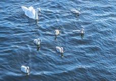 Swan family Stock Photography