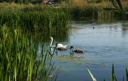 Swan family. The swan family on the lake in the morning swim in search of food.  Excellent photo that can be used to create billboards, gift cards, calendars Stock Photos