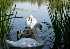 Swan family. The swan family on the lake in the morning swim in search of food.  Excellent photo that can be used to create billboards, gift cards, calendars Royalty Free Stock Photos