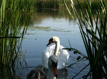 Swan family Stock Photos