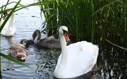 Swan family Stock Image