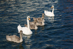 Swan family. Family of swans floating on the water Stock Photography