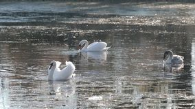 Swan family. Swans on the small lake stock footage