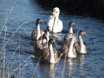 Swan family Royalty Free Stock Image