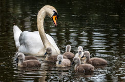 Swan Family. Family of swans in the water. Babies and mother Royalty Free Stock Image