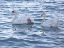 Swan family swiming in the lake Royalty Free Stock Photo