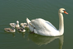 Swan family swiming with mother swan. Swan family swiming on a green lake surface with mother swan leading Royalty Free Stock Photo