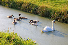 Swan family swimming. Stock Image
