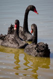 Swan family swimming Stock Images