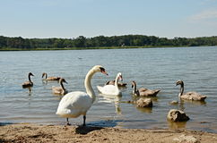 Swan Family. Swimming on a lake Royalty Free Stock Image