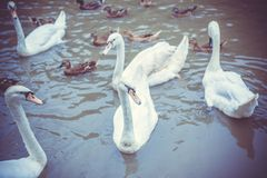 Swan family swimming in Pond Royalty Free Stock Photography