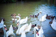 Swan family swimming in Pond Royalty Free Stock Photo