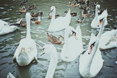 Swan family swimming in Pond Stock Photography