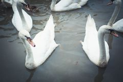 Swan family swimming in Pond Stock Images