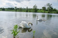 Swan family swimming on the pond. Swan family swimming in a pond near the shore Stock Image