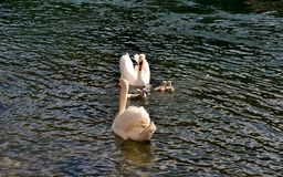 A swan family swimming in a sunny day. Stock Photo