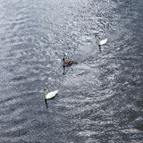 Swan with family swims Royalty Free Stock Images