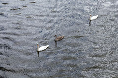Swan with family swims Royalty Free Stock Photography