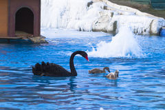 Swan family 2 Royalty Free Stock Photography