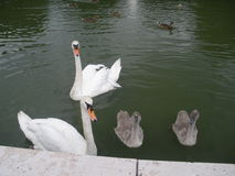 Swan family. Two swans with their youngs Stock Images