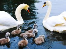 Swan family in a urban garden Royalty Free Stock Image