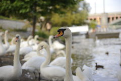 Swan family on water in prague river. One swan in focus royalty free stock photography