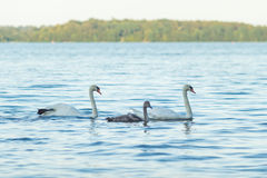 Swan family in water Royalty Free Stock Photography