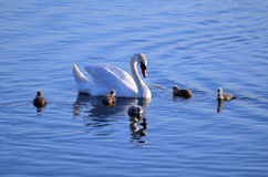 Swan Family in the water Royalty Free Stock Image