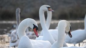 Swans winter on the lake stock footage