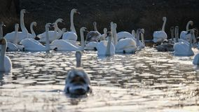 Swans winter on the lake stock video footage