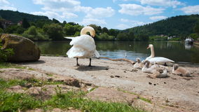 Swan family with young swans, Eberbach stock video footage