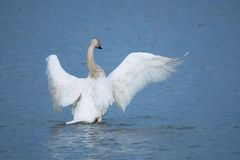 Swan fans its wings on the river stock photography