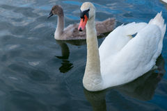 Swan father with kid swimming Stock Photos