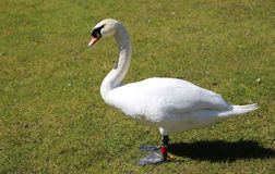 Swan fearful in the midst of the green lawn Royalty Free Stock Images