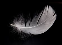 Swan feather Royalty Free Stock Image